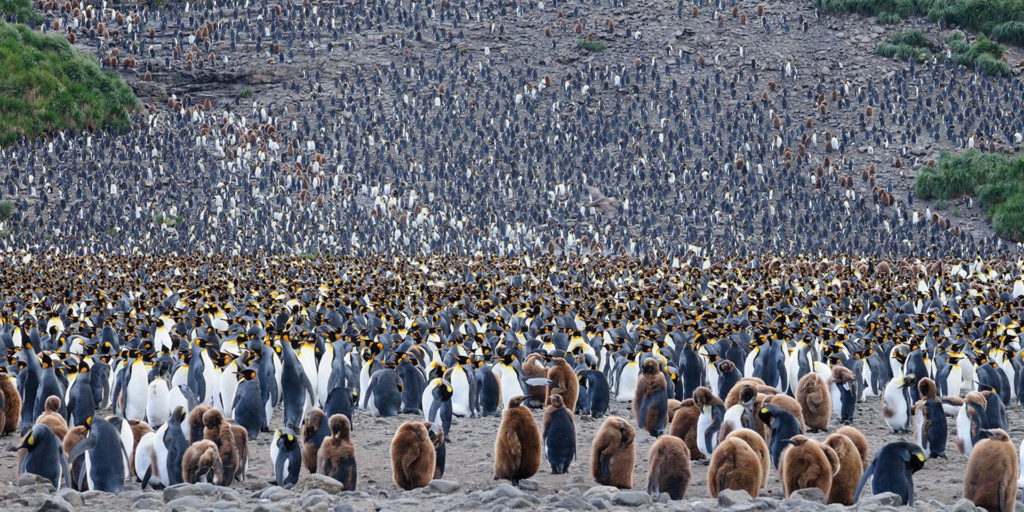 Colony of King Penguin in South Georgia