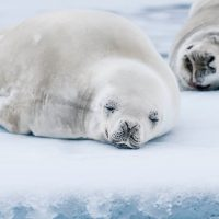 Antarctica One Ocean seal Contours Travel