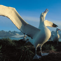 Wandering Albatross stretching its wings