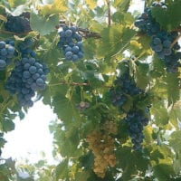 Wine grapes in Mendoza Argentina Gov Contours Travel