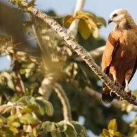 Brazil Araras Pantanal EcoLodge - wildlife Black Collared Hawk Contours Travel