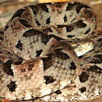 Brazil Caiman Ecolodge Pantanal Wildlife ZP - Jararaca boca de sapo - Lancehead snake