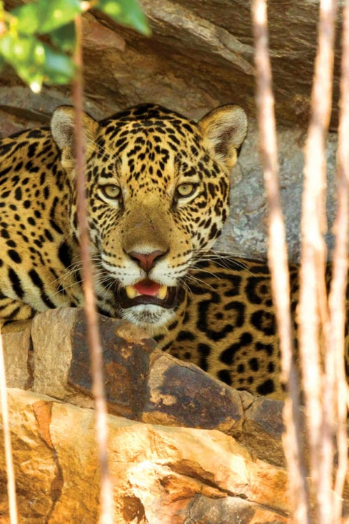 Brazil Pantanal Jaguar House Boat Jaguars in the wild Contours Travel