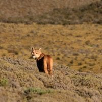 Wildlife Local Fauna Puma Patagonia Chile Protours Contours Travel