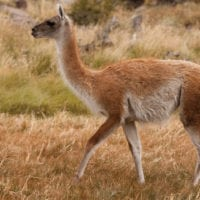 Wildlife Guanaco Paine Patagonia Chile Protours Contours Travel