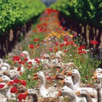 Ducks at Viña Cono Sur winery Chile Proturs Contours Travel