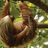 Costa Rica Trails sloth
