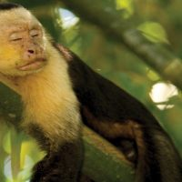 Costa Rican Trails Bosque del Cabo White faced Capuchin Monkey Sleeping