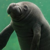 Ecuador Amazon Manatee