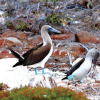 Wildlife Blue-footed booby courtship dance on North Seymour Island Galapagos Ecuador John Soolaroo