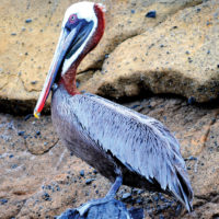 Ecuador Galapagos Brown pelican on Isabela Island Flickr