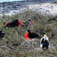 Wildlife Frigate birds on North Seymour Island Ecuador Galapagos Flickr