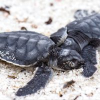 Wildlife baby sea turtles Galapagos Ecuador Klein Contours Travel