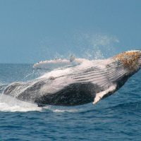 Wildlife seasonal humpback whale Galapagos Ecuador Klein Contours Travel