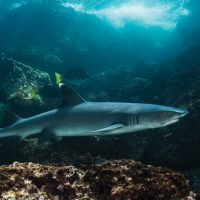 Wildlife White Tipped Reef Shark close Galapagos Ecuador Klein Contours Travel