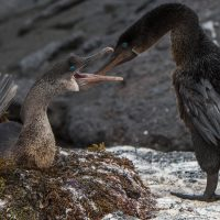 Wildlife flightless cormorant nest on fernandina Galapagos Ecuador Klein Contours Travel