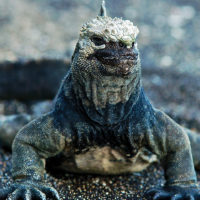 Wildlife marine iguana Ecuador Galapagos Les Williams flickr 15668641799_o