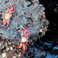wildlife Sally lightfoot crabs at santa cruz island Ecuador Galapagos Les Williams flickr 15668641799_o