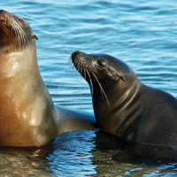 Wildlife sea lion competitors Galapagos Ecuador Les Williams flickr 15684953347_o