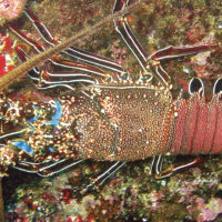 Wildlife spiny lobster Ecuador Galapagos Les Williams flickr 15869148491_o