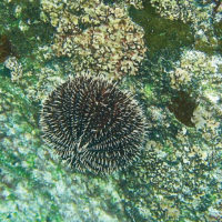 Ecuador Galapagos Les Williams flickr white-sea-urchin_15870570645_o