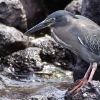 Wildlife striated heron santa cruz galapagos Ecuador putneymark Contours Travel