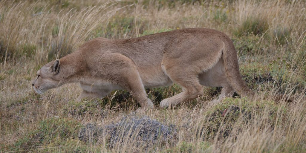 Puma tracking in Torres del Paine Patagonia Chile