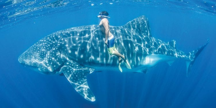 Person swimming with Whale Shark