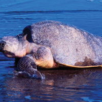 One Ocean Resolute turtle Central America Contours Travel
