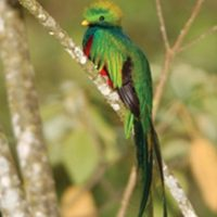 Quetzal bird in Panama Central America Contours Travel