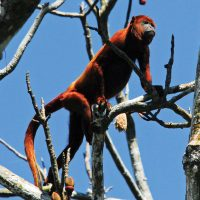 Wildlife Howler Monkey in Iquitos Amazon Peru La Perla Cruise JungleExperiencesAmazonRiverCruises Contours Travel