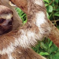 Wildlife sloth in Iquitos Amazon Peru La Perla Cruise JungleExperiencesAmazonRiverCruises Contours Travel