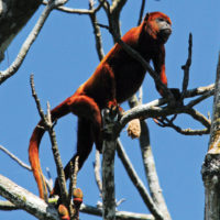 Aria Amazon Howler monkey