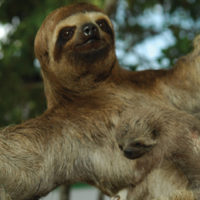 Peru Aria River Amazon Cruise wildlife Three Toed Sloth with baby on a tree Contours Travel