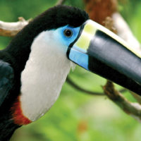 Aria Amazon toucan