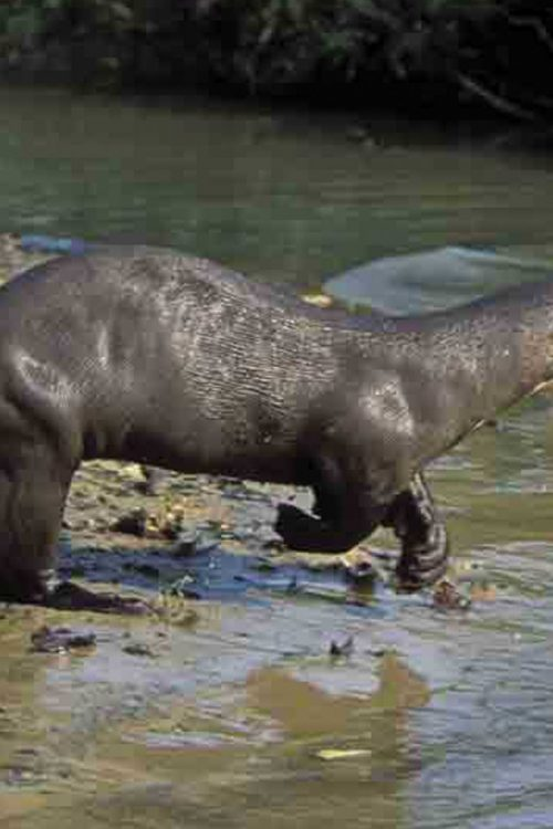 Peru Inkanatura Heath River Wildlife Centre Wildlife Giant-Otter heath