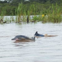 Amazon Pink River dolphins Contours Travel