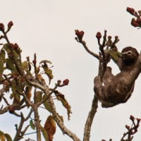 Sloth in the high canopy Amazon wildlife Iquitos Peru Delfin Cruise Contours Travel
