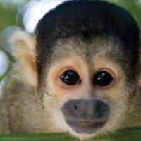Monkey Amazon wildlife Iquitos Peru Delfin Cruise Contours Travel