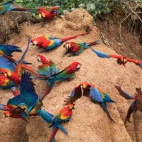 Wildlife Clay Lick Parrakeet in Puerto Maldonado Amazon Peru Refugio Amazonas Logde Contours Travel
