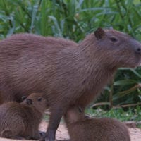 Wildlife capibara in Manu Wildlife Center Maldonado Amazon Peru Inkanatura