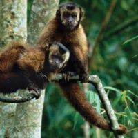 Wildlife Capuchin monkeys in Manu Wildlife Center Maldonado Amazon Peru Inkanatura Daniel Blanco