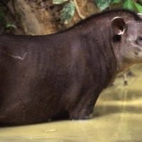 Wildlife Tapir in Manu Wildlife Center Maldonado Amazon Peru Inkanatura