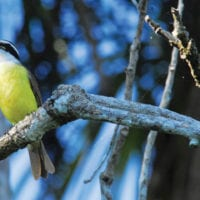 Wildlife great kiskadee in Reserva Amazonica, Puerto Maldonado Peruvian Amazon Contours Travel