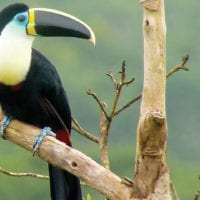 Amazon wildlife Toucan Contours Travel