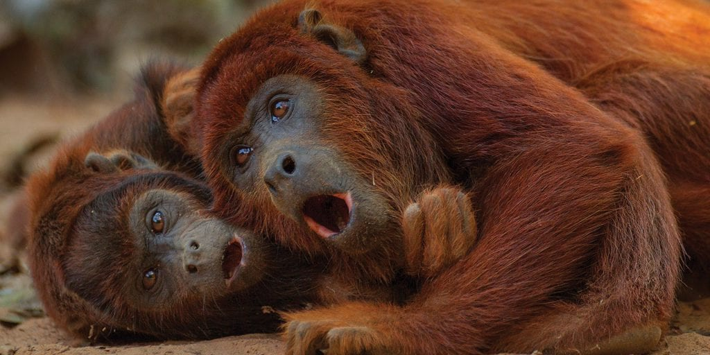 Red Howler Monkey Tambopata Research Centre- Contours Travel