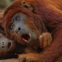 Peru_Rainforest-Expeditions_Tambopata-Research-Centre_Wildlife_Red-Howler-Monkey3