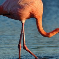 Wildlife Flamingo Galapagos Ecuador courtesy of Metropolitan Touring Contours Travel