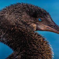 Wildlife Flightless Cormorant Galapagos Ecuador courtesy of Metropolitan Touring Contours Travel