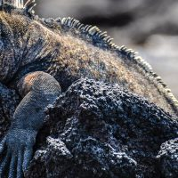 Wildlife Marine Iguana sunbathing Galapagos Ecuador courtesy of Metropolitan Touring Contours Travel